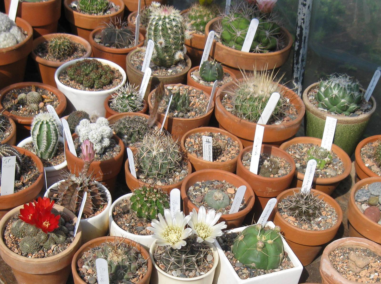 Kaip prižiūrėti kaktusus, kad jie papuoštų namus