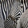 Zebrams gelbėti – originalus mokslininkų sprendimas