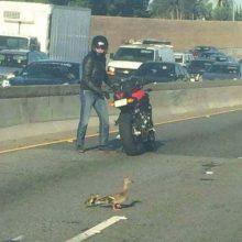 Motociklininko elgesys su ančiukais sukėlė susižavėjimą
