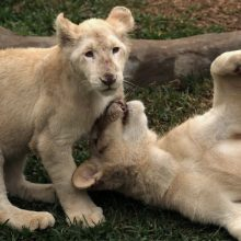 Zoologijos sode pristatyti du itin retų baltųjų liūtų jaunikliai