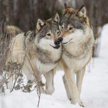 Prie Norvegijos ambasados – piketas dėl vilkų
