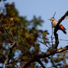 A. Stulginskio universiteto mokslininkai imsis retų paukščių tyrimų