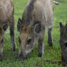 Viceministras: dėl kiaulių maro dar labiau medžioti šernų nebeįmanoma