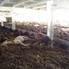 Neabejingus gyvūnų kankinimams kviečia pasirašyti peticiją
