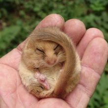 Neries regioniniame parke rasta lazdyninė miegapelė jau pasiruošusi žiemos miegui