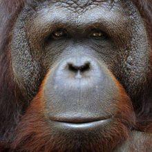 Nugaišo seniausias pasaulio orangutangas
