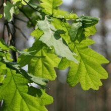 Rumšiškėse – klonuotų ąžuolų galiūnų giraitė