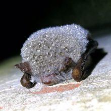 Fortuose lankytojai nepageidaujami – šios vietos taps šikšnosparnių miegamaisiais