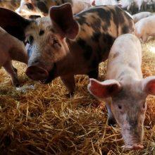 VMVT vadovas: Belgija nesieja kiaulių maro užkrato su Baltijos šalimis