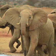 Botsvanoje nugalabyta beveik 100 dramblių