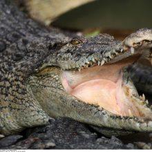 Indonezijoje krokodilas sudraskė moterį