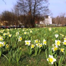 Pavasario šėlsmas Druskininkuose: 220 tūkstančių narcizų jūra ir daugybė renginių