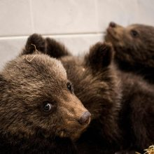 Bulgarijoje rasti trys rudi lokiukai, jų mamos ieškoma