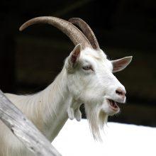 Serbijoje ožka prarijo 20 tūkstančių eurų