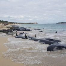 Australijoje nesėkmingai gelbėti išplauti į krantą banginiai
