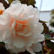 Svyranti begonija žydi gausiais žiedais.