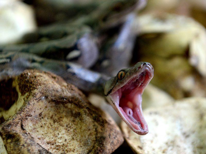 Besišlapinančiam vyrui į penį įsikibo trijų metrų gyvatė