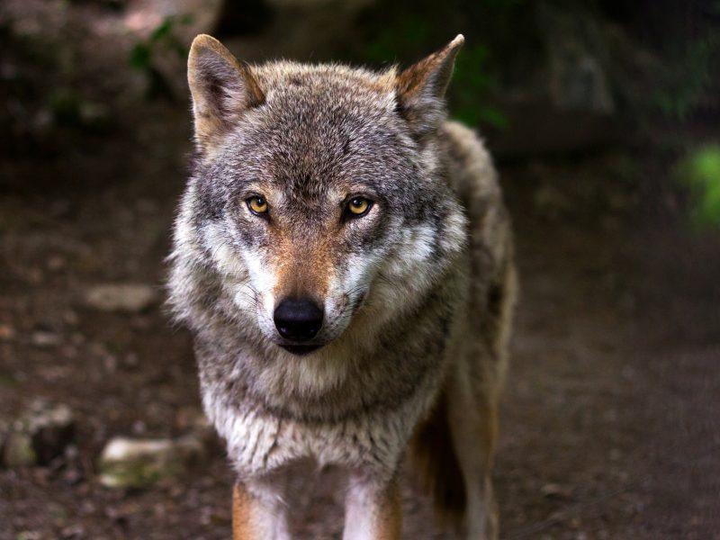 Sumedžiojus leistiną vilkų skaičių, nutraukta jų medžioklė