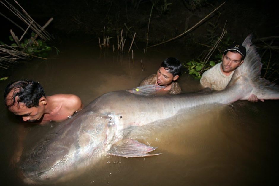 Didžiausia pasaulyje gėlavandenė žuvis: didžioji Mekongo katžuvė
