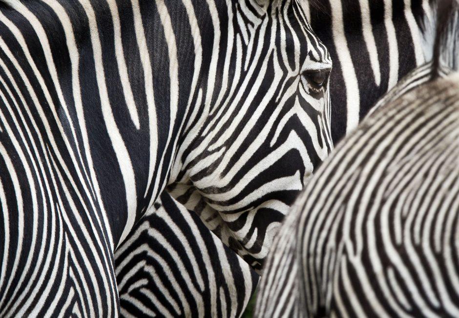 Iš cirko pabėgęs zebras slėpėsi dryžuotoje saugumo salelėje