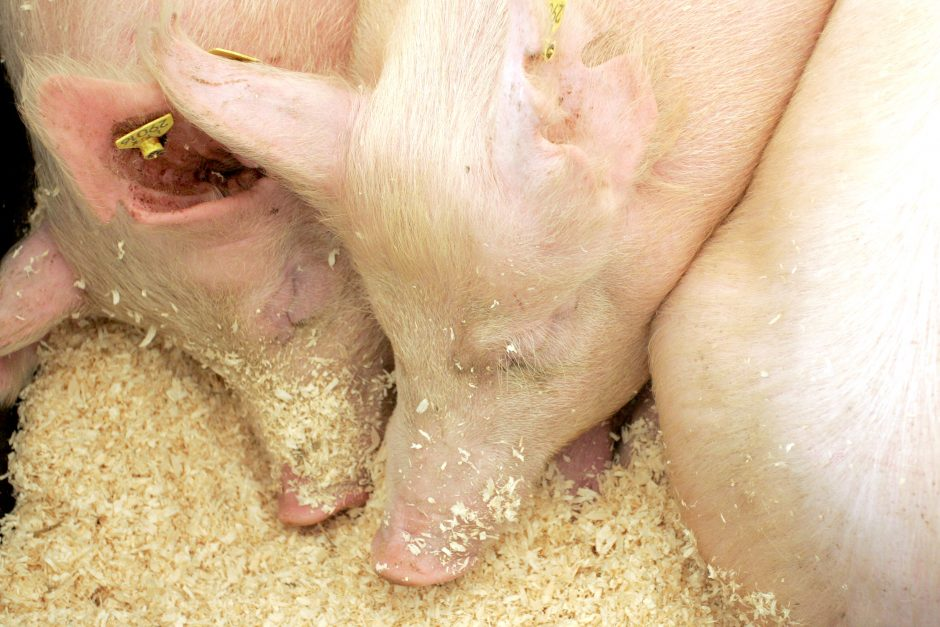 Priminimas laikantiems kiaules – gyvūnų ženklinimas ir registracija privalomi