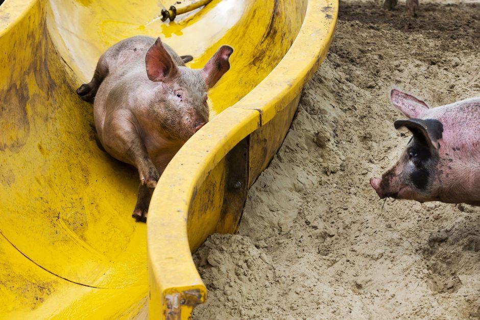 Rūpestingo ūkininko pavyzdys: savo kiaulėms įrengė purvo pramogų parką