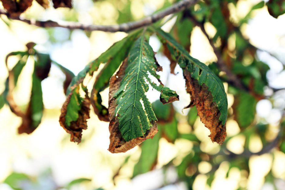 Klaipėdoje kaštonai liko be lapų