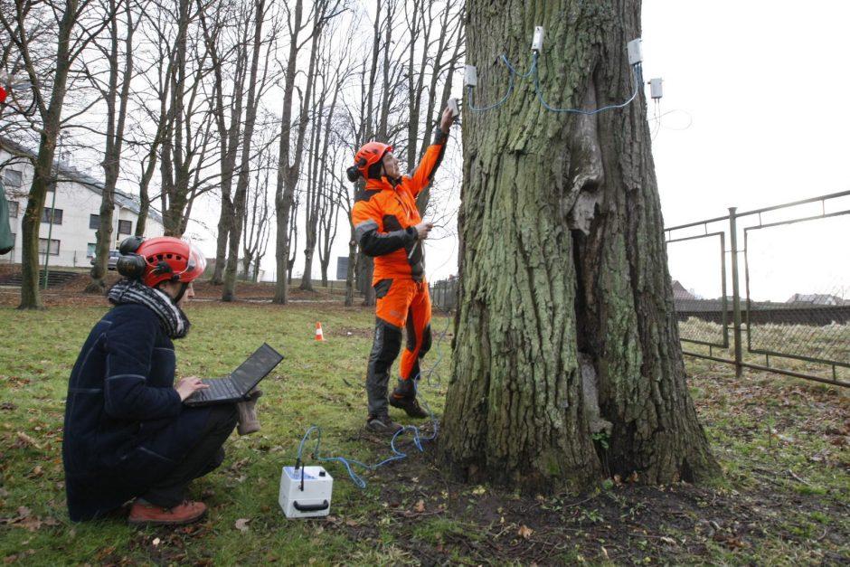 Specialistai vertino Treko parko ąžuolų būklę