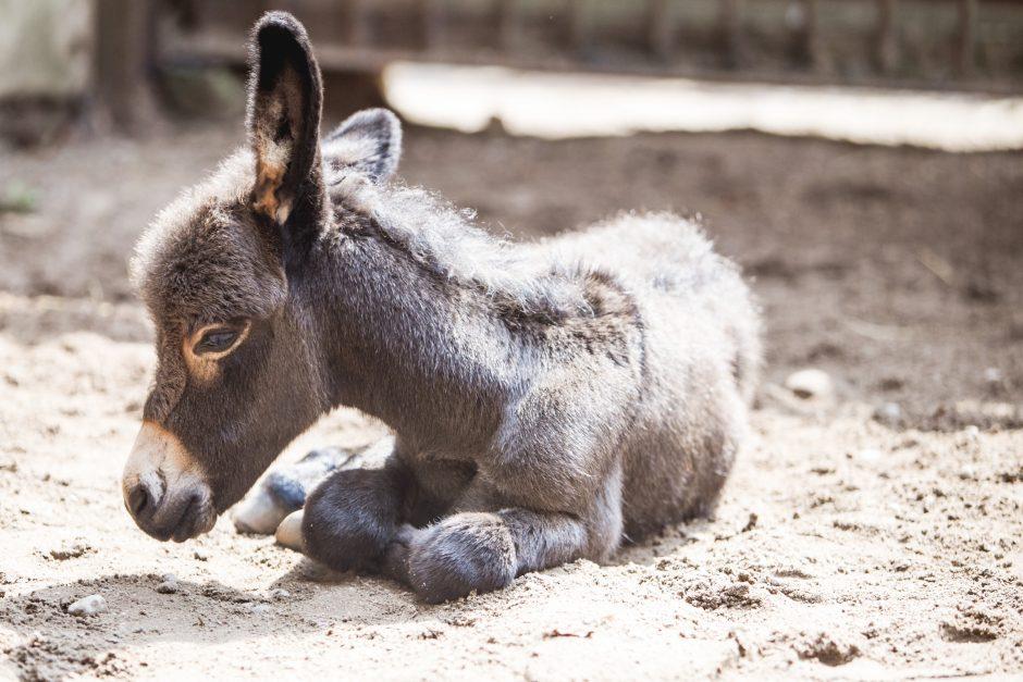 Zoologijos sodo jaunikliai: asiliukas ir zebriukas