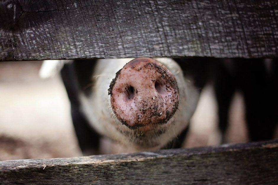 Nustatytas jau penktasis kiaulių maro židinys