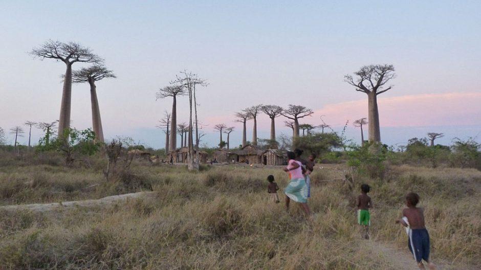 Afrikoje netikėtai nunyko vieni seniausių baobabų