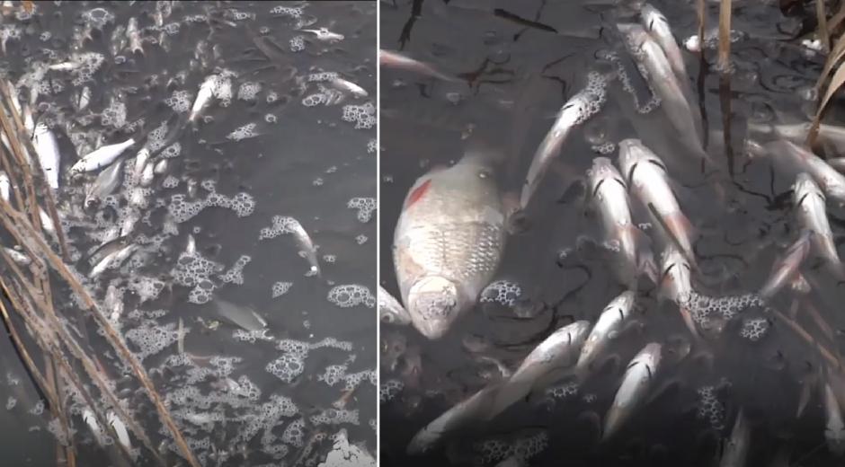 Kauno rajono tvenkinyje – masiškai gaištančios žuvys