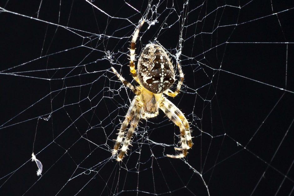 Atskleistas neįtikėtinas vorų mitybos tinklas