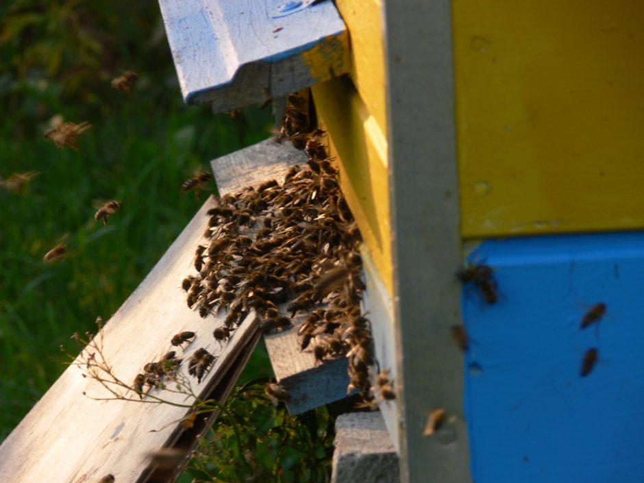 Bičių terapija mėgaujasi ir prezidentai