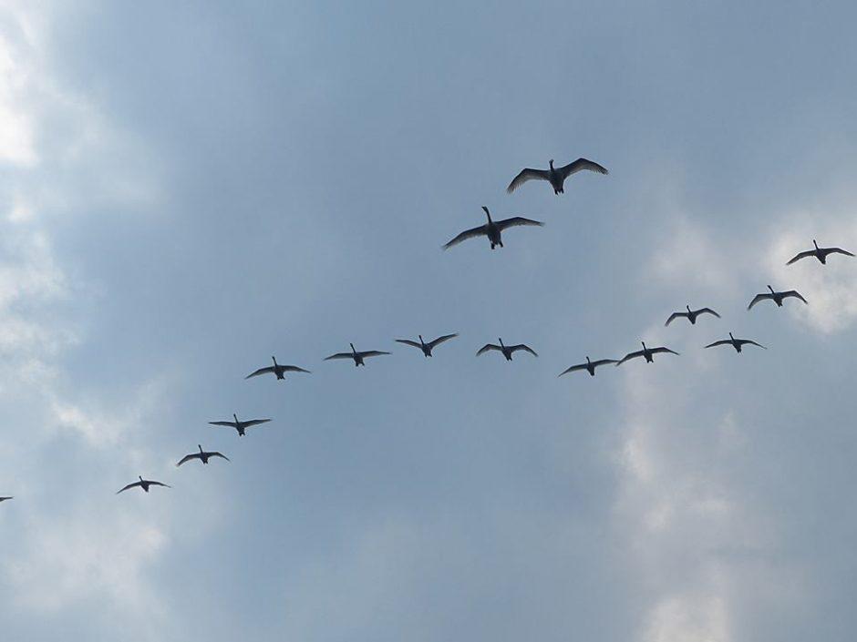 Savaitgalį gyventojai kviečiami palydėti išskrendančius paukščius