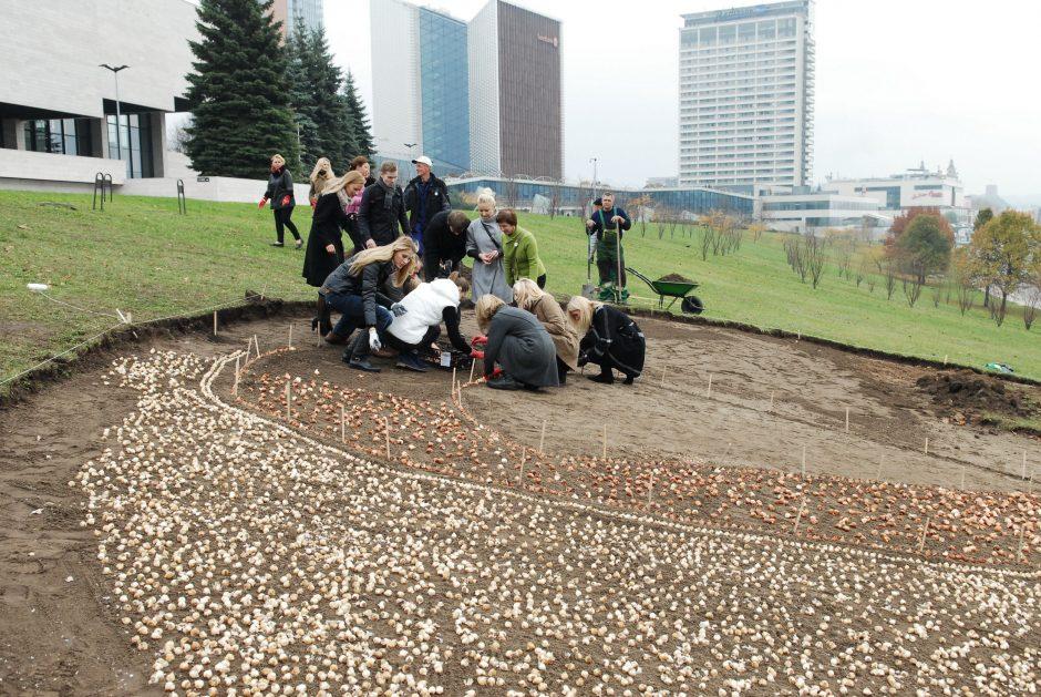 Iš Nyderlandų atkeliavusios tulpės pavasarį Vilniuje pražys Rožiniu kaspinu