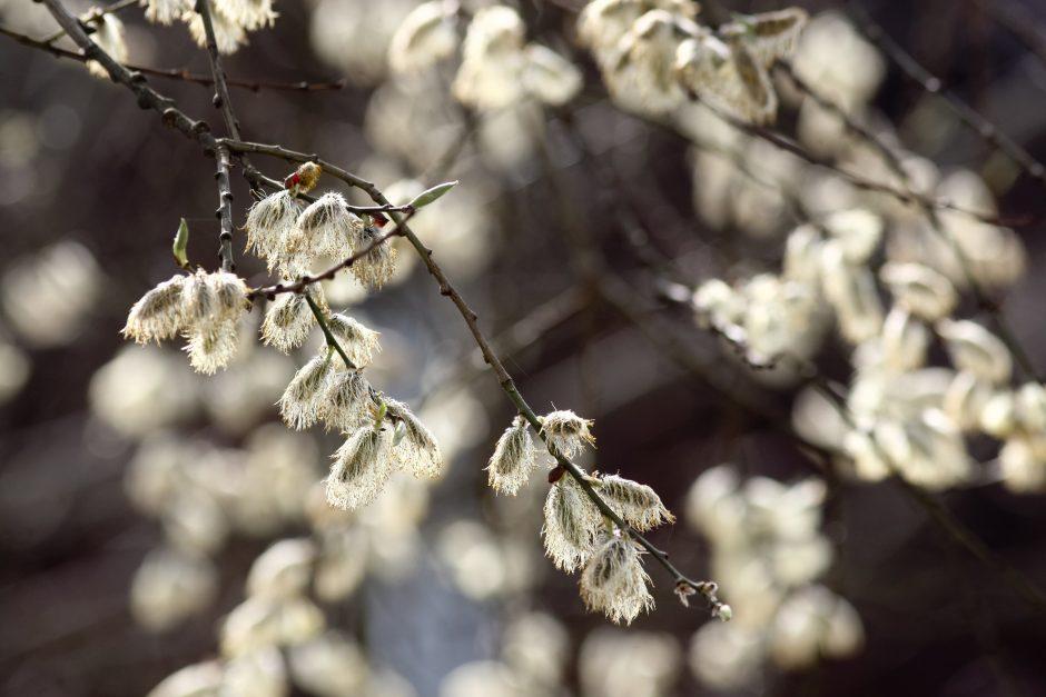 Pavasarinės saulės šypseną užtemdys lietus ir šlapdriba