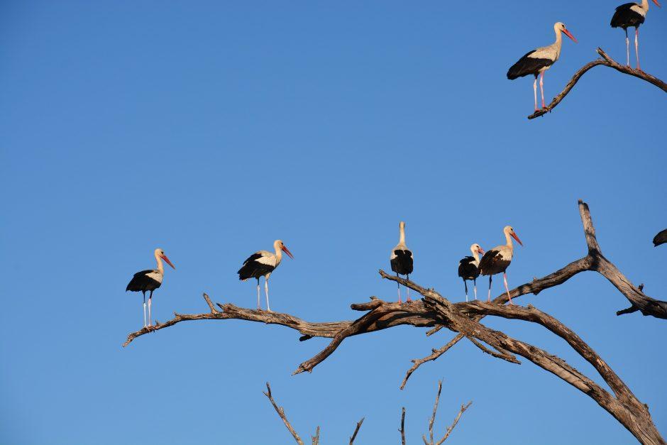 Ne gandrai kelia pavojų užsikrėsti paukščių gripu