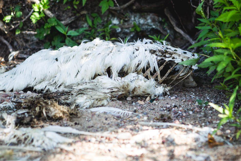 Kauno marių pakrantėje – apgraužta gulbė