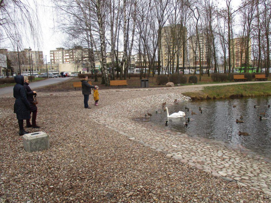 To dar nebuvo: Kalniečių parko tvenkinyje apsigyveno dvi gulbės