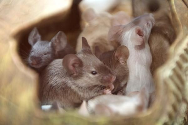 Kodėl pelės ir žiurkės naudojamos medicininiuose eksperimentuose?