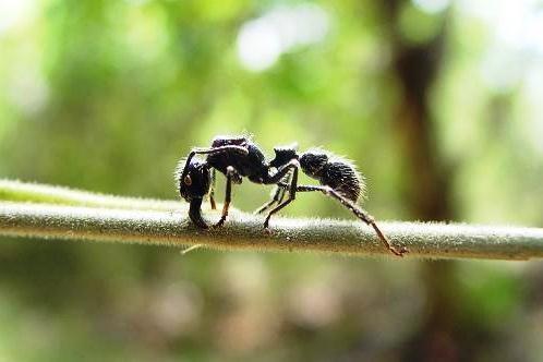 Ko skruzdė neria į plėšrių augalų virškinimo sultis?
