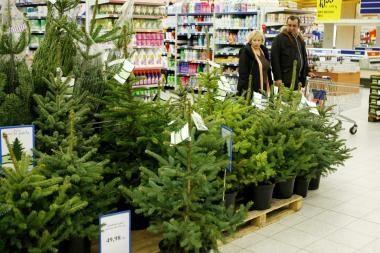Kalėdų eglės jau prekyboje