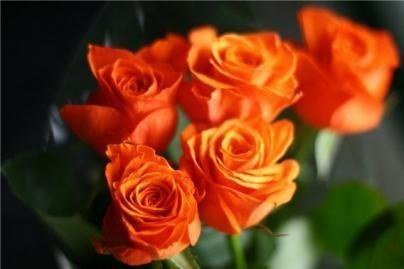 Dovana panevėžiečiams - 505 rožės
