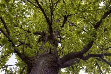 Žalojami istoriniai pakelių medžiai