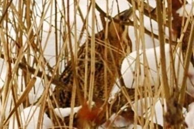 Lietuvoje pastebėtas retas paukštis – didysis baublys