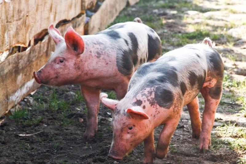 Dėl kiaulių maro Beržų komplekse - bankrotų grėsmė kitiems ūkiams
