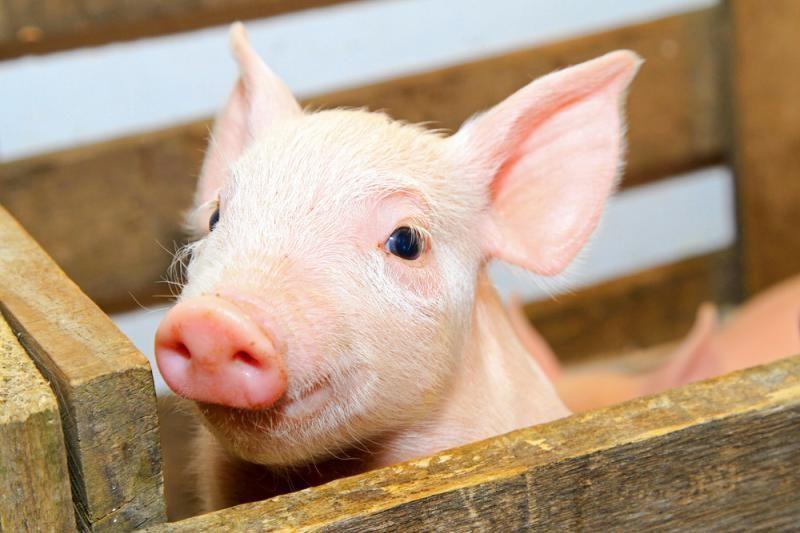 Teismas stabdo danų kiaulidžių veiklą Kalvarijos savivaldybėje