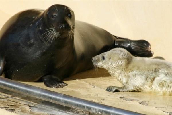 Jūrų muziejuje – du ruonių jaunikliai