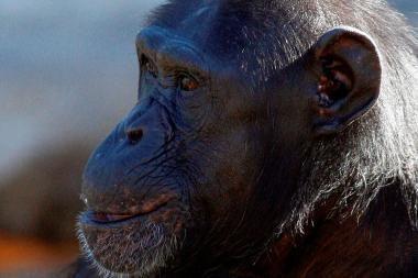 Beždžionė atkeršijo skriaudikams